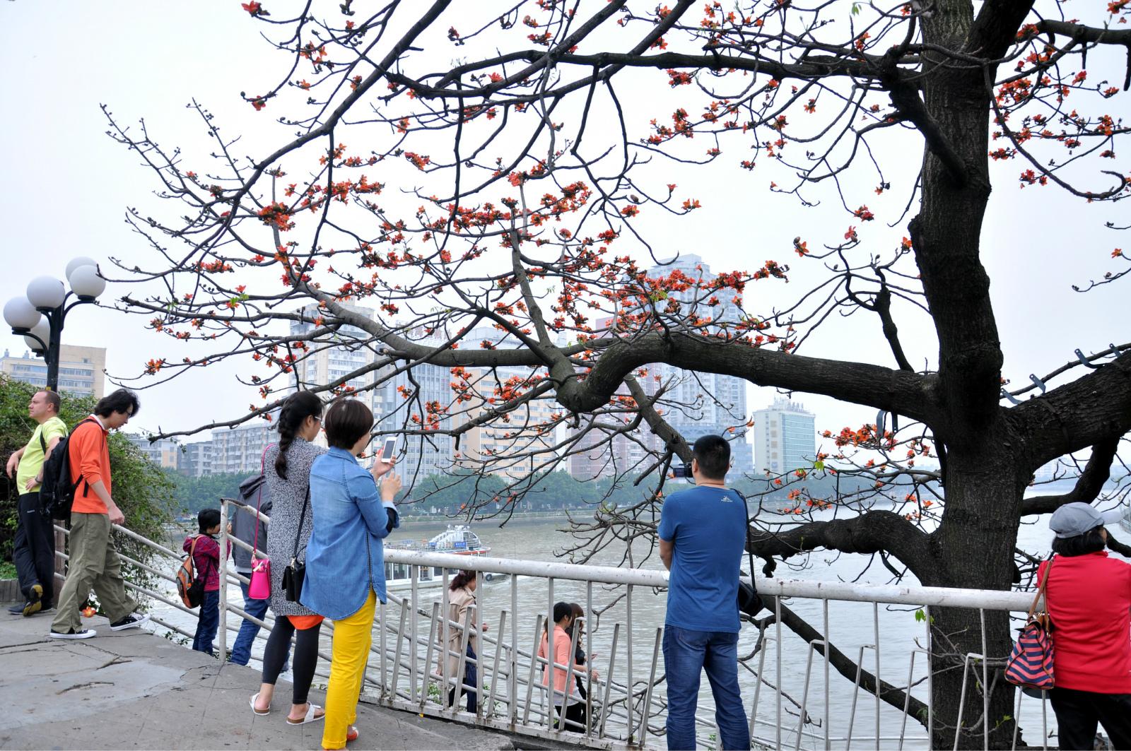 广州人民桥木棉花树展示