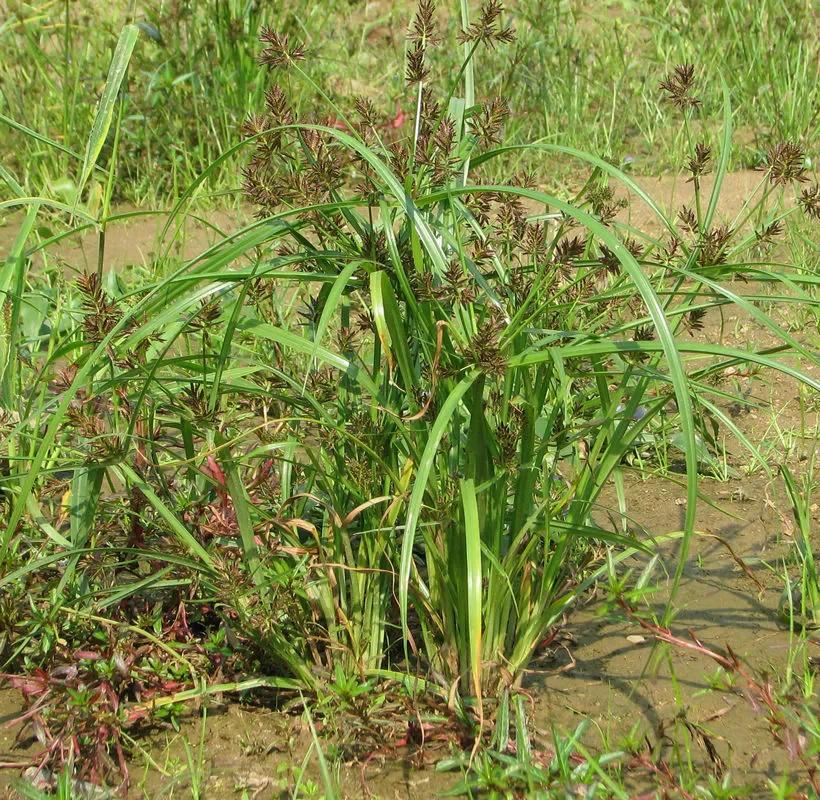 调节降雨中地表水的供应平衡,生长旺盛时刈割覆盖树盘形成覆草保墒来