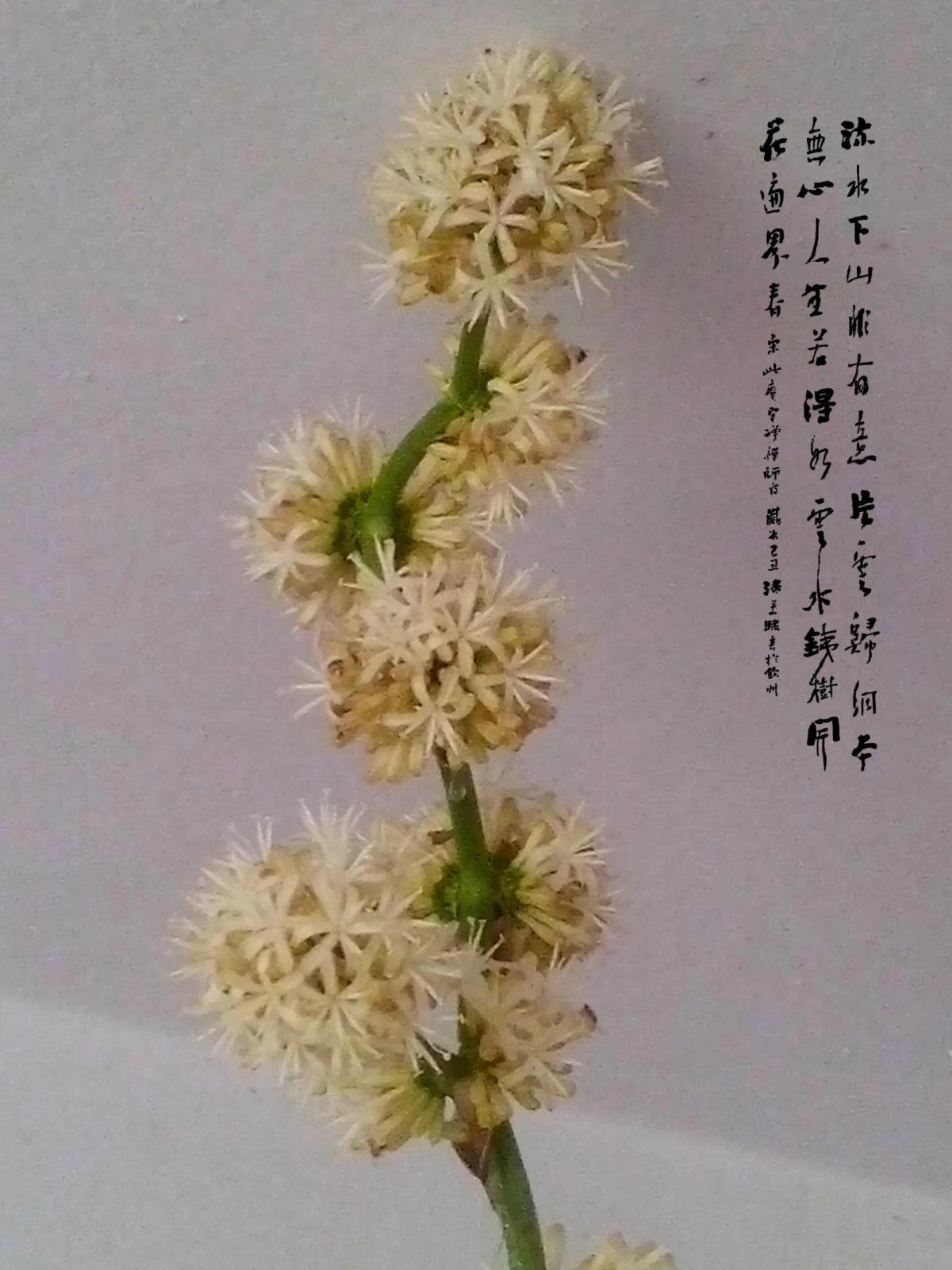 【七绝】巴西铁树开花