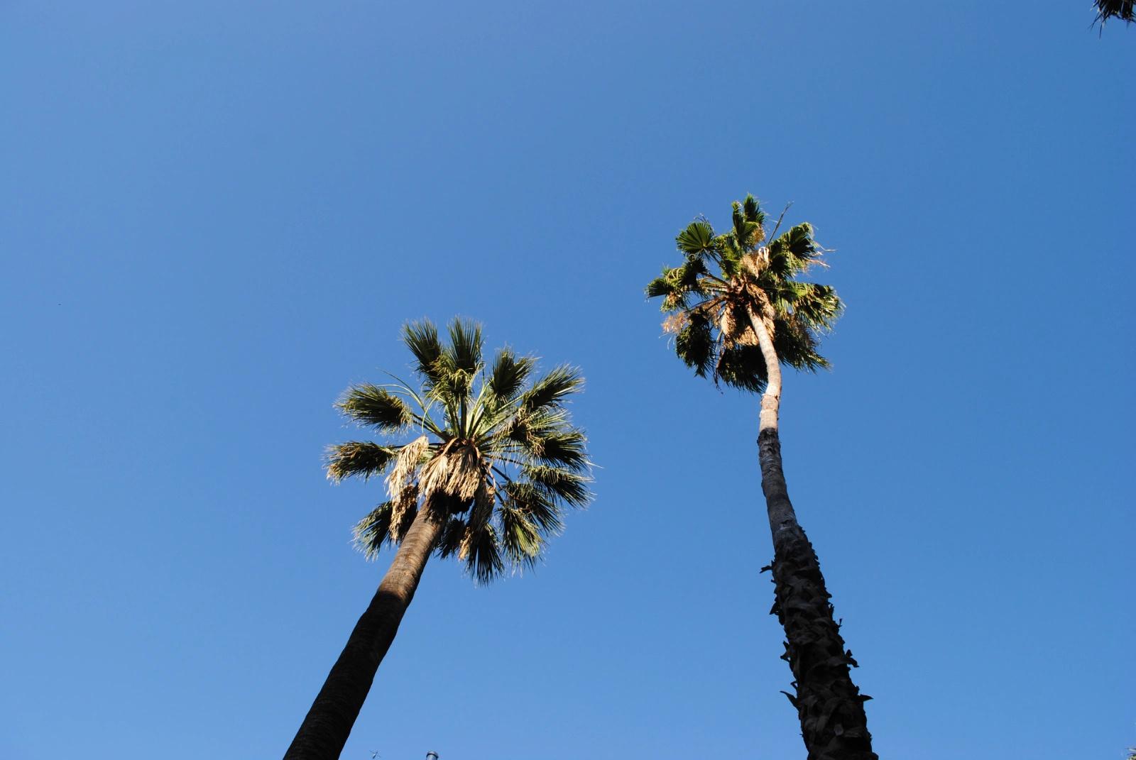 去往sfo的路上,大桥上的椰子树全部被梳成发髻状.