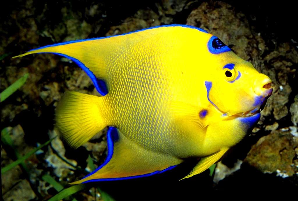 宠物鱼之十四(黄色海水鱼)