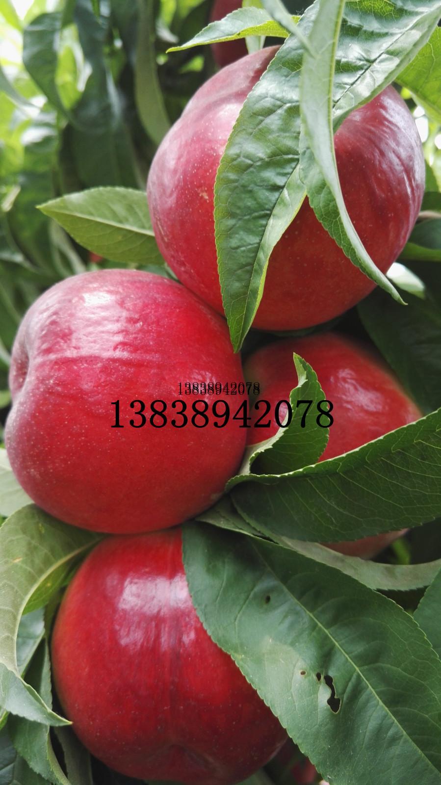 九月上中旬成熟桃树新品种--中桃22
