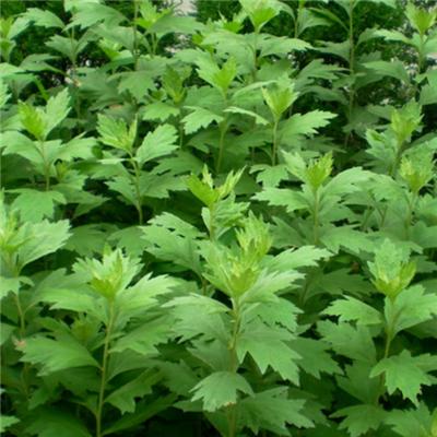 手绘夏天植物图片