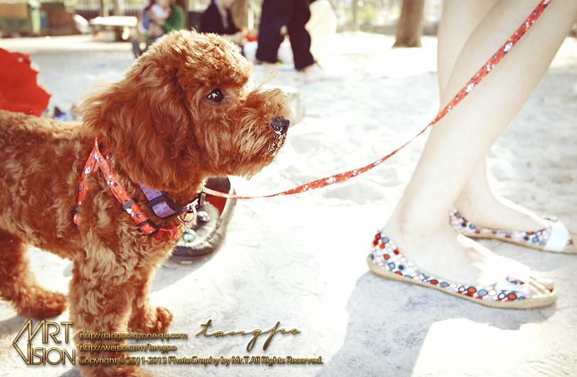 可爱的贵宾狗狗贝贝