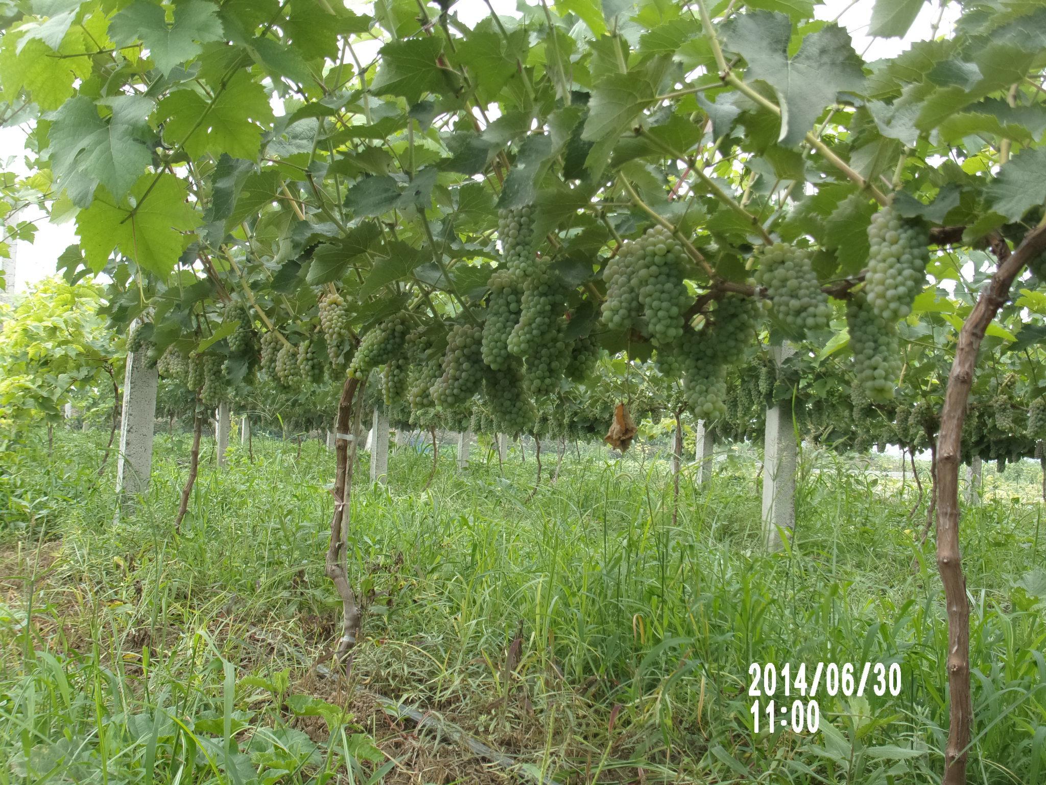 茉莉香葡萄