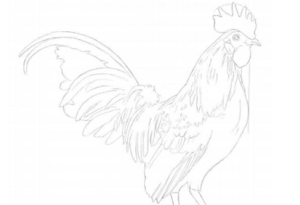 彩铅画教程:怎么画大公鸡