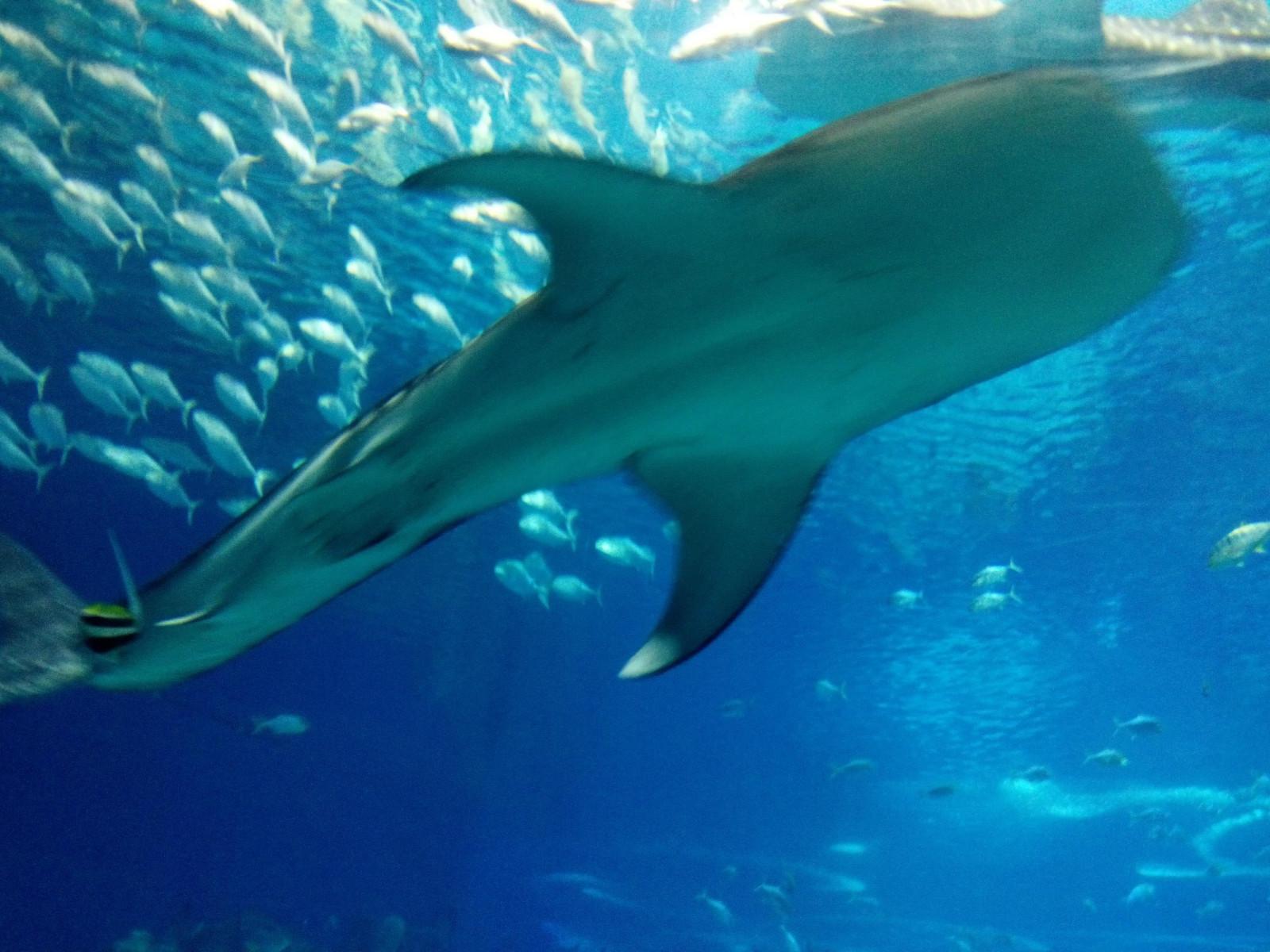 壁纸 动物 海底 海底世界 海洋动物 海洋馆 鲸鱼 水族馆 桌面 1600