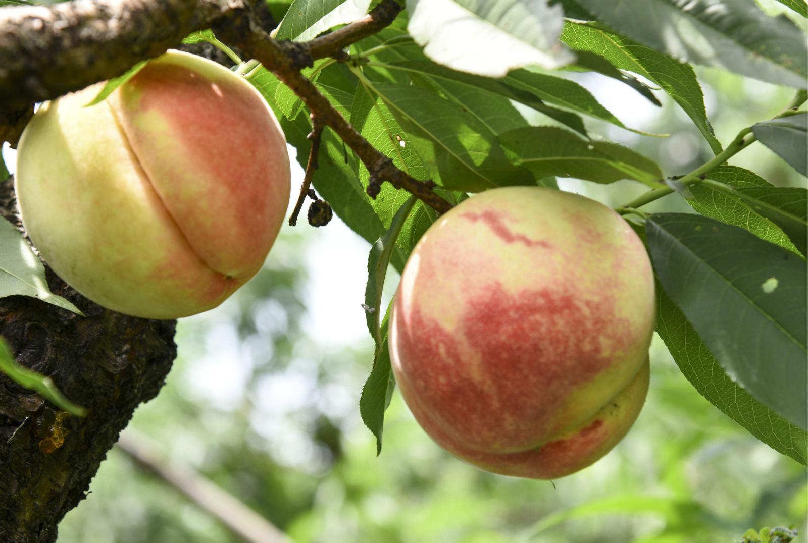 av桃蜜日本_老小孩dv沙龙 帖子信息  阳山是中国著名的水蜜桃之乡,已有近百年栽培